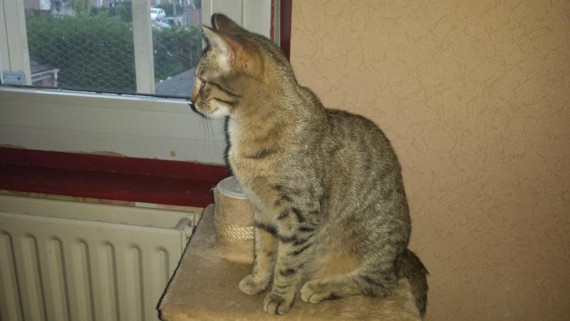 jagna, jolie tigrée née le 10 avril 2014 20150426