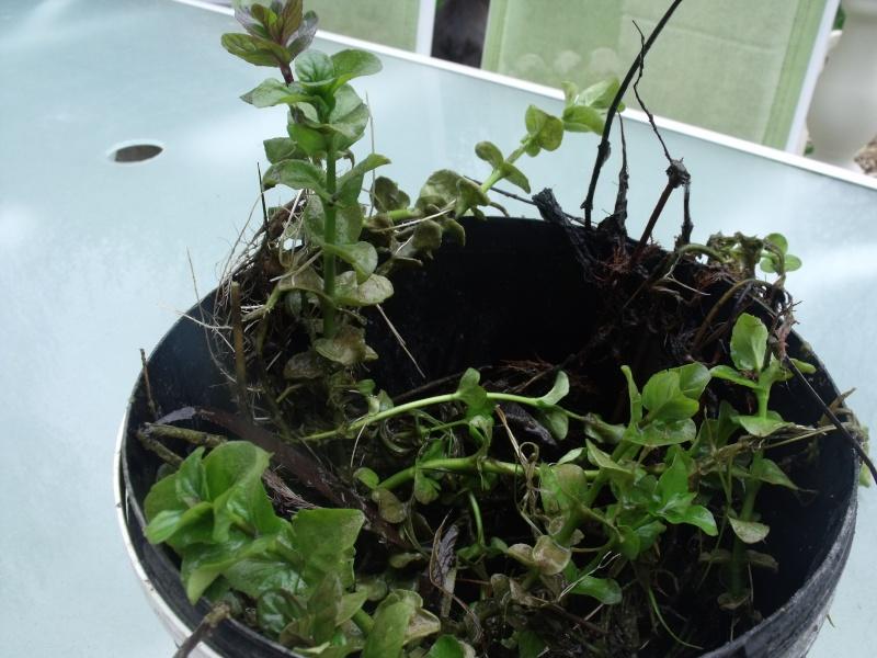 quelle est cette plante ? Dscf0523