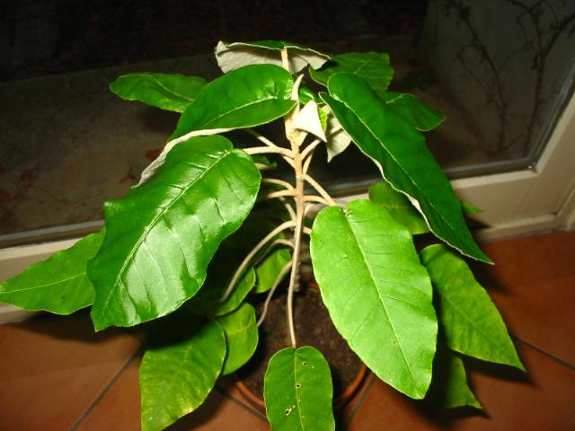 arbuste du Kenya Sans_t11