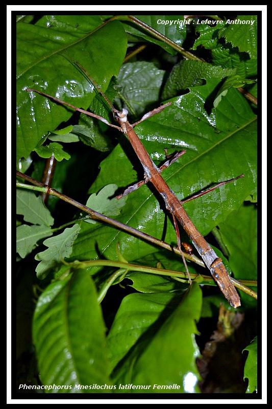 "Phenacephorus ""Mnesilochus"" latifemur (P.S.G. n°312) Phenac18"