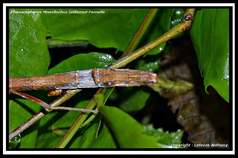 "Phenacephorus ""Mnesilochus"" latifemur (P.S.G. n°312) Phenac20"