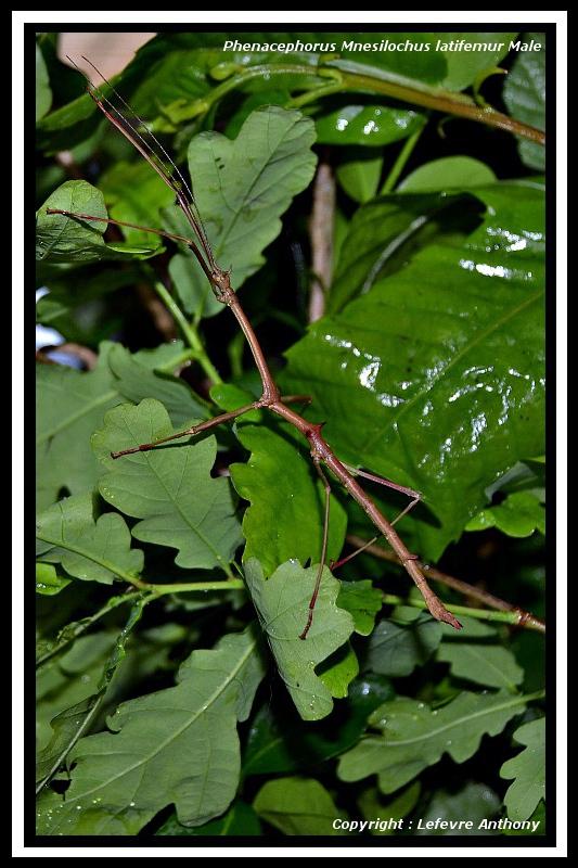 "Phenacephorus ""Mnesilochus"" latifemur (P.S.G. n°312) Phenac21"