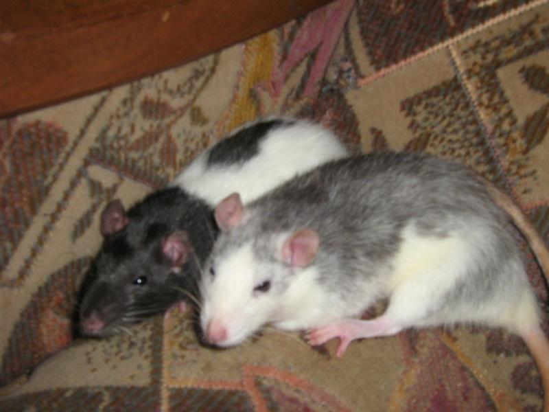 1 mâle agouti et une femelle hooded noire Img_2032