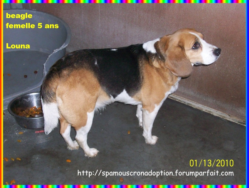 LOUNA, beagle femelle, 5 ans (Belgique) Photo_37