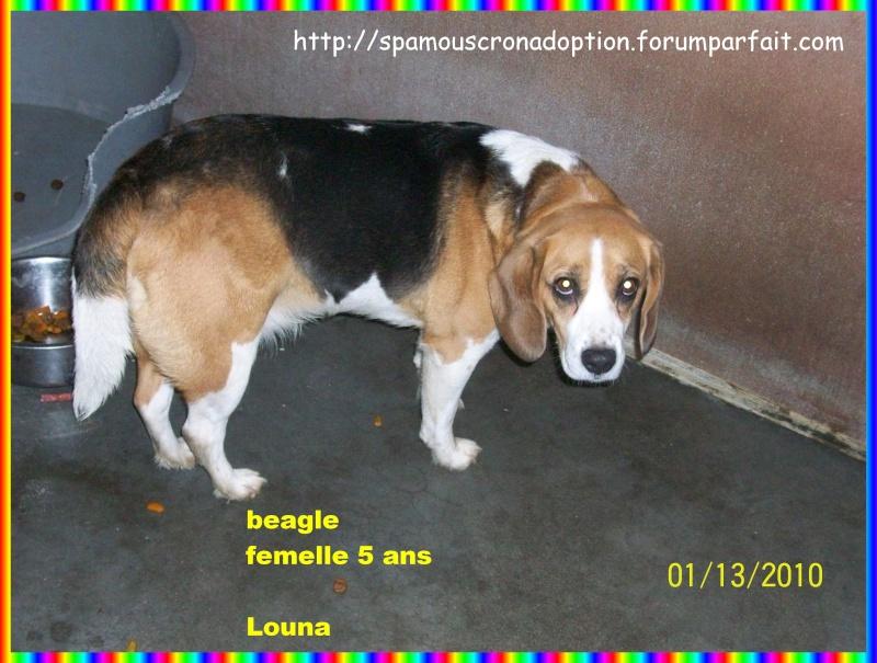 LOUNA, beagle femelle, 5 ans (Belgique) Photo_38