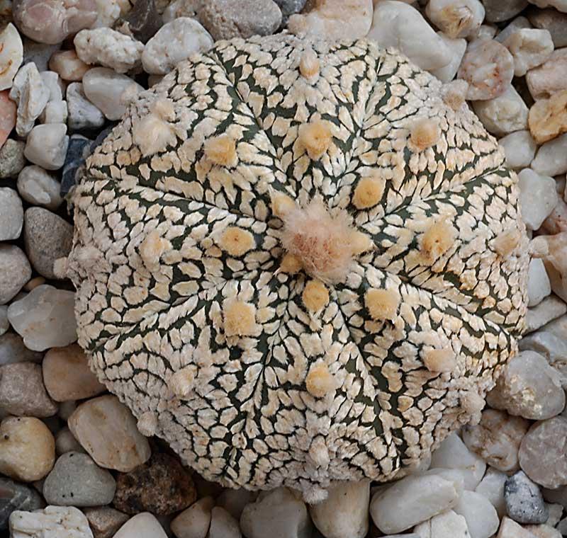 Astrophytum asterias super kabuto 3410