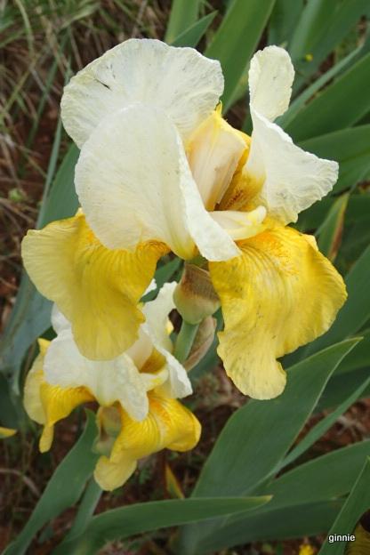 Les iris -culture, multiplication, entretien, variétés. - Page 3 P5052011