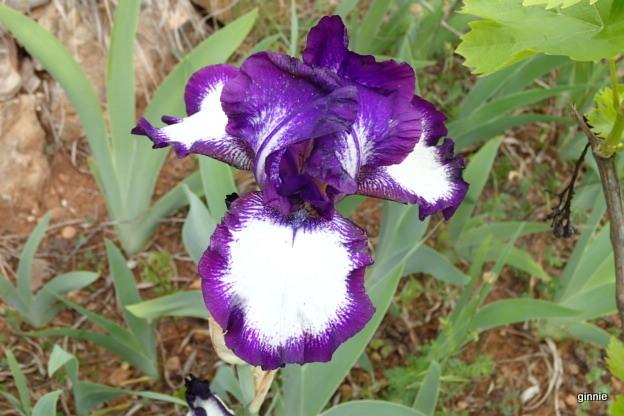 Les iris -culture, multiplication, entretien, variétés. - Page 3 P5052012