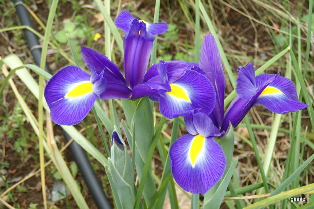 Les iris -culture, multiplication, entretien, variétés. - Page 3 P5052017