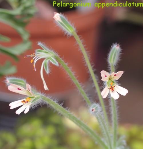 Pelargonium appendiculatum Dscn4312