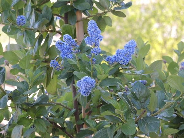 Ceanothus arboreus et cultivars  Dscn4316