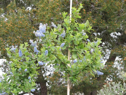 Ceanothus arboreus et cultivars  Dscn4317