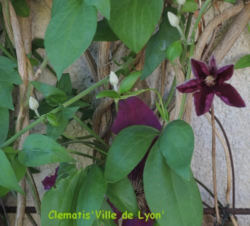 Clematis 'Ville de Lyon' Dscn4515