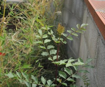 Ailanthus altissima - ailante glanduleux - Page 2 Dscn4517
