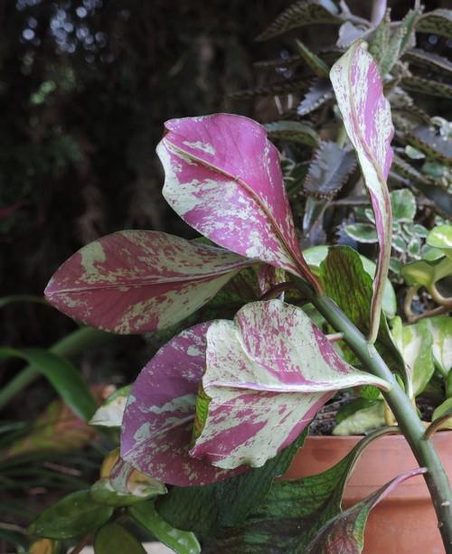 Euphorbia umbellata (= Synadenium umbellatum) Dscn4524