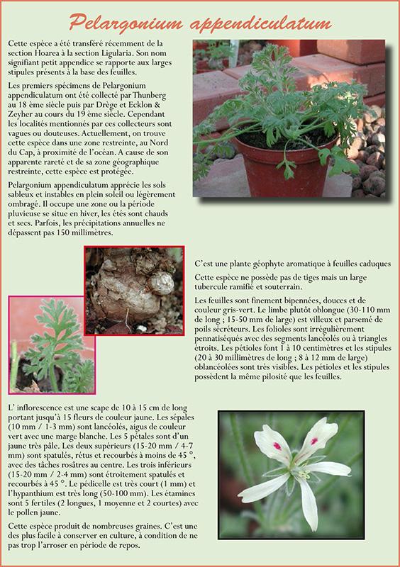 Pelargonium appendiculatum P_appe10