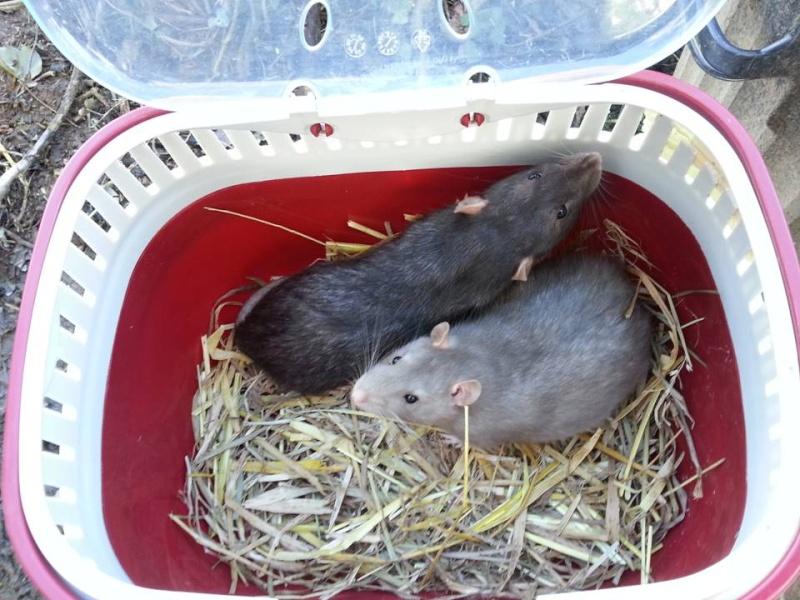 presentation des rats de chez ratatouille Diapos10
