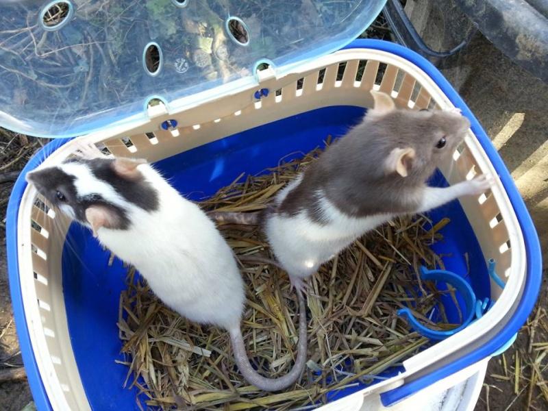 presentation des rats de chez ratatouille Diapos11