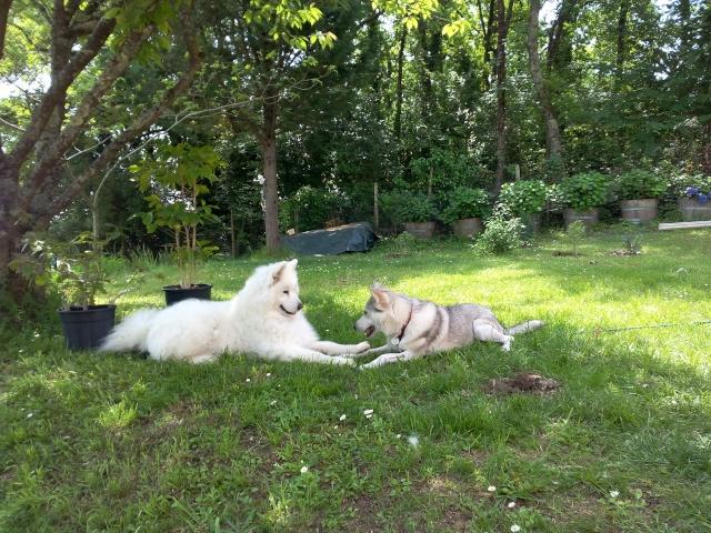 Shana husky 11 mois... de la souffrance à la delivrance ASSO24 - Page 2 Grande10