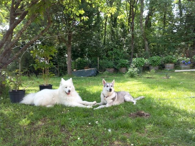 Shana husky 11 mois... de la souffrance à la delivrance ASSO24 - Page 2 On_se_10