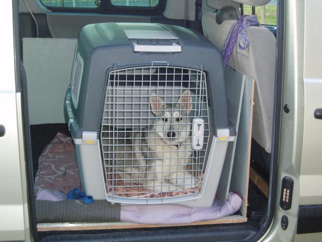 Shana husky 11 mois... de la souffrance à la delivrance ASSO24 P2149610