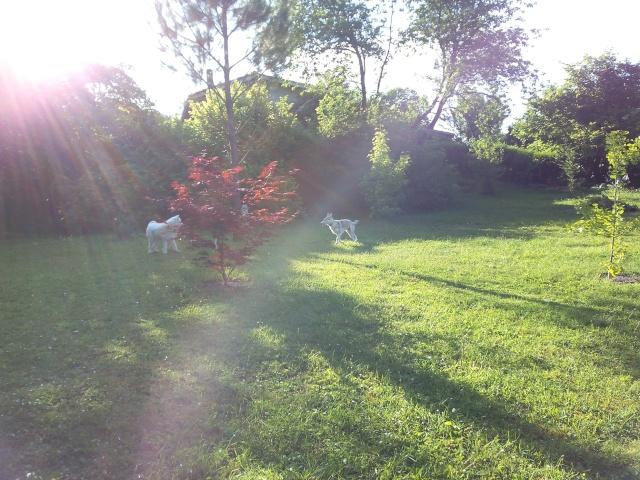 Shana husky 11 mois... de la souffrance à la delivrance ASSO24 - Page 2 Shana_11