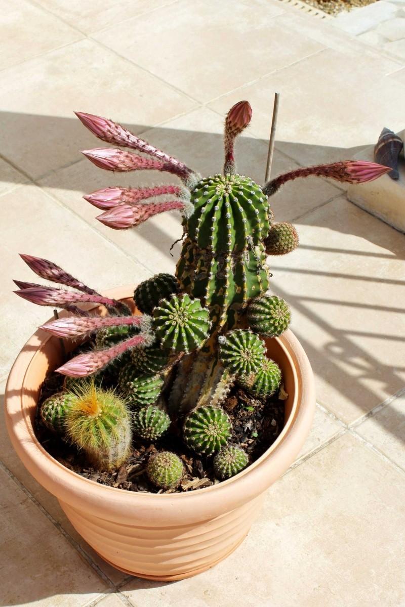 Echinopsis oxygona (= Echinopsis eyriesii v. grandiflora) Echino11