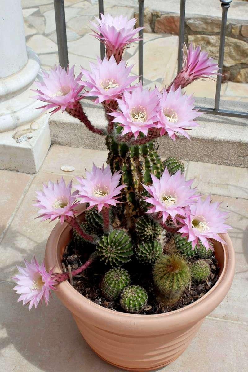 Echinopsis oxygona (= Echinopsis eyriesii v. grandiflora) Echino12