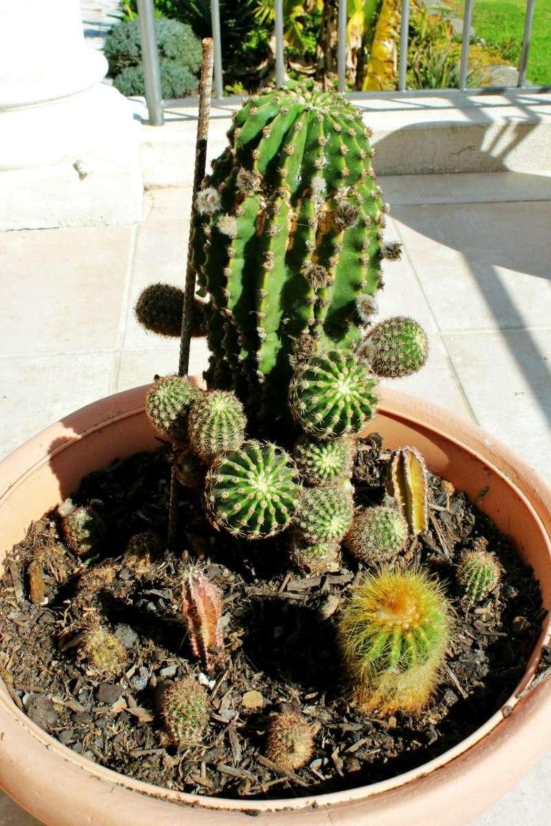 Echinopsis oxygona (= Echinopsis eyriesii v. grandiflora) Echino14