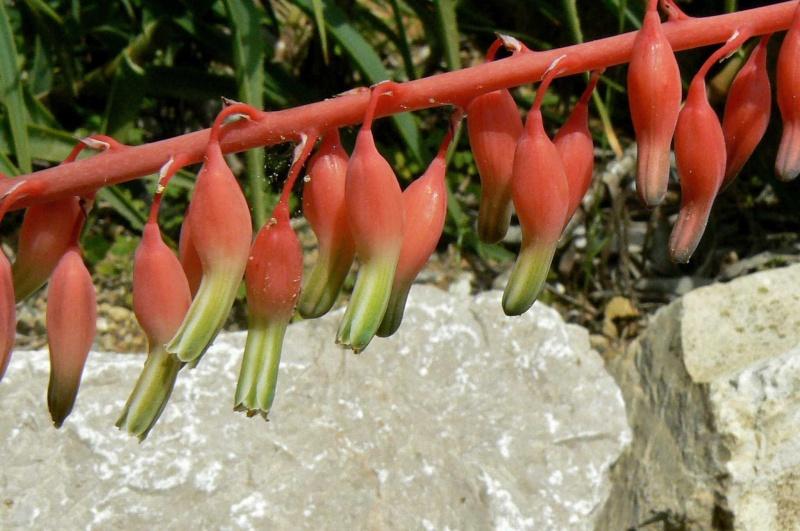 Gasteria bicolor v. liliputana Gaster13