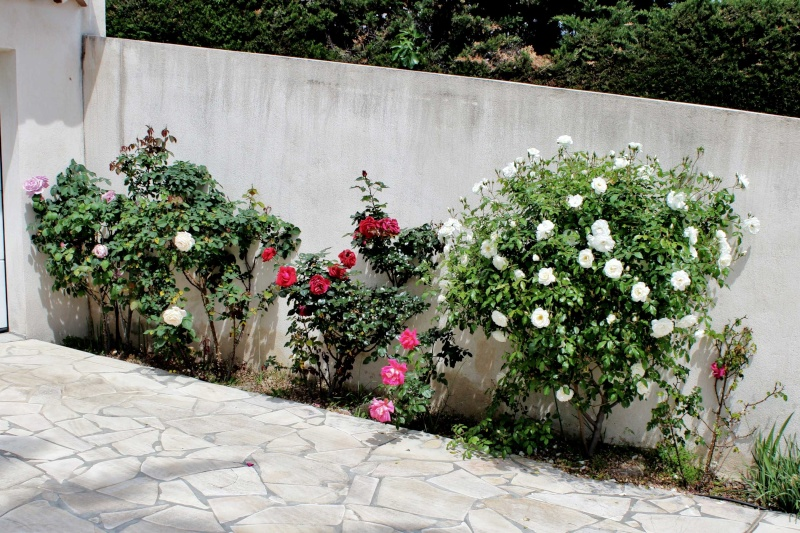 le joli mois de mai des fous jardiniers - Page 4 Rosier10