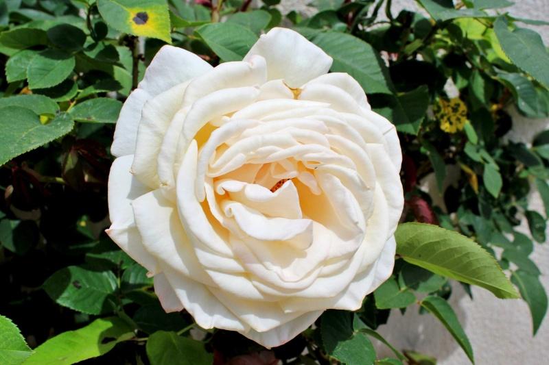 le joli mois de mai des fous jardiniers - Page 4 Rosier12