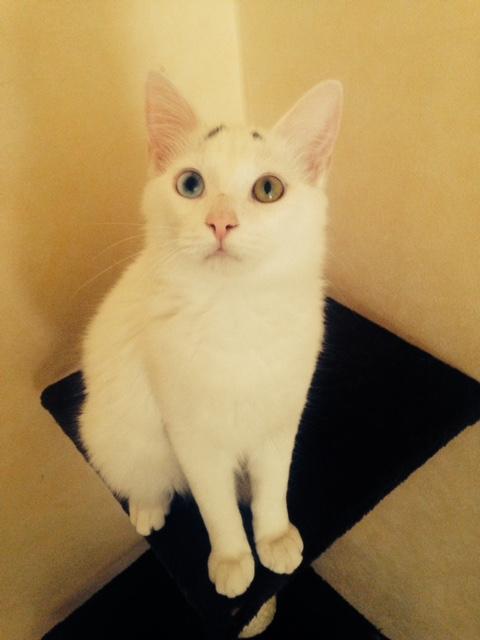 perdu chat blanc et gris à Cugnaux Fullsi10