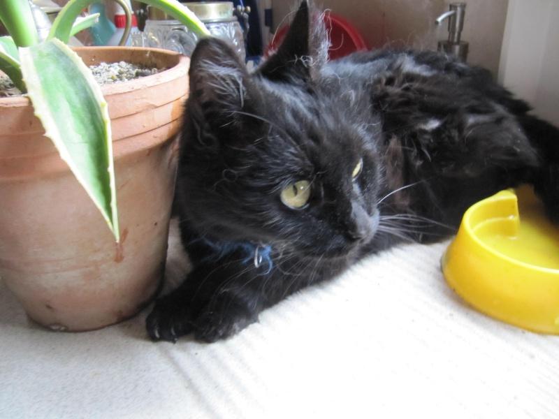 trouvée chatte noire allée de Belle-Ile à Colomiers Img_3310