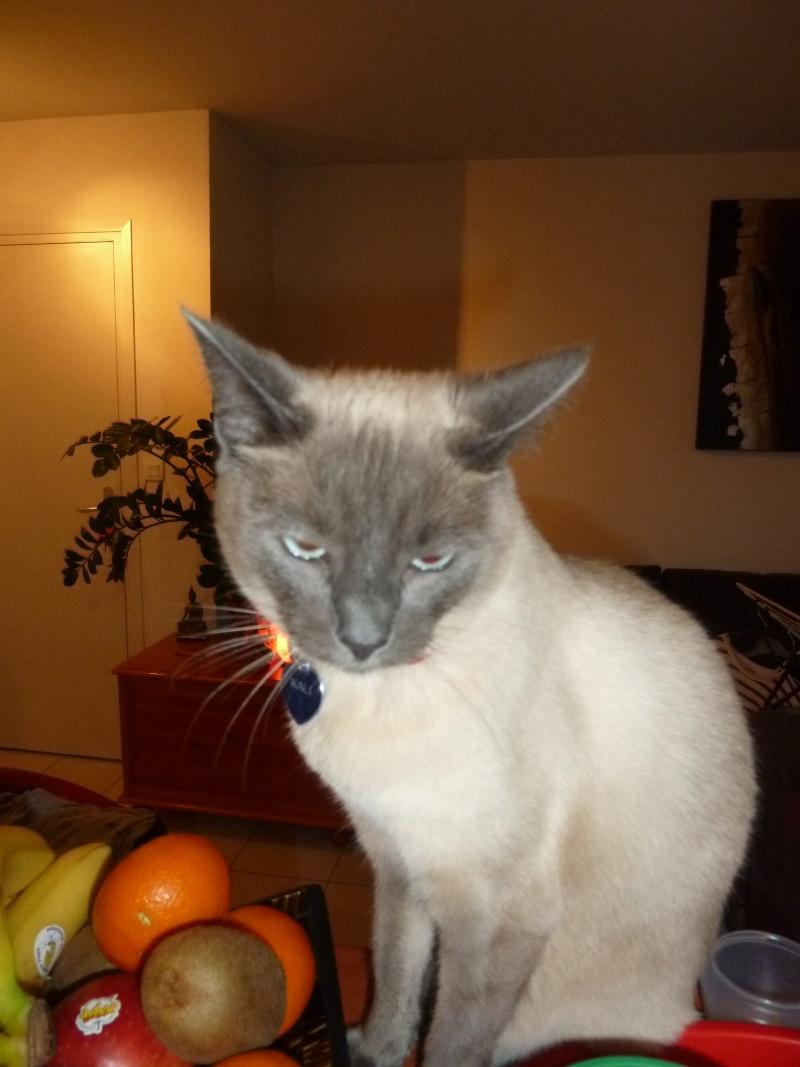 Perdue chatte siamoise Allée de la Salanque à Colomiers P1030510