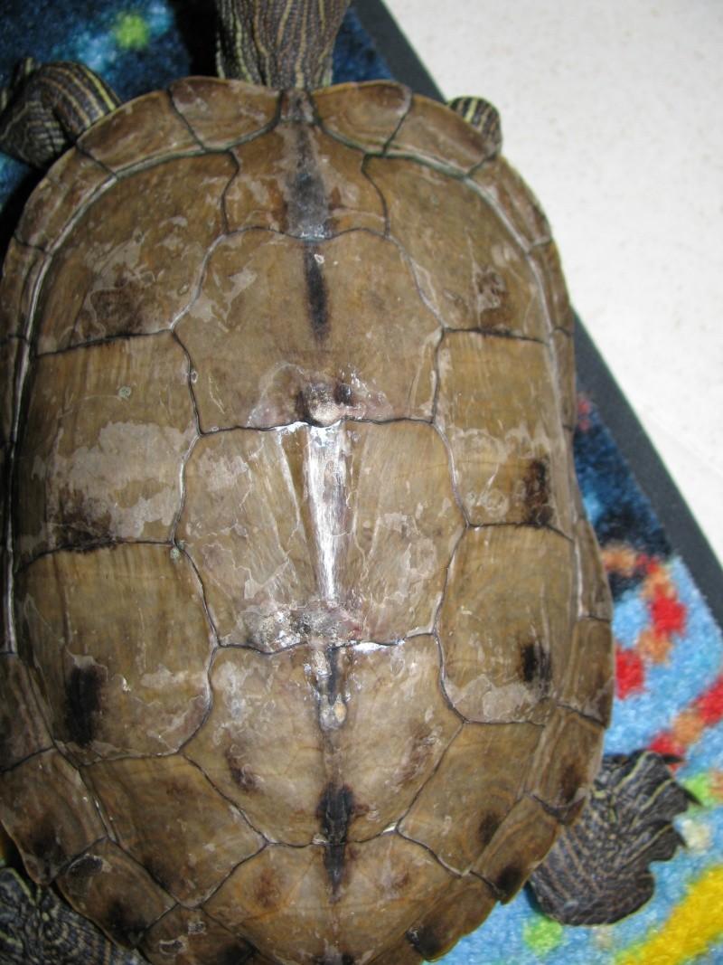tortue aquatique: comment soigner sa carapace râpée ? 00510