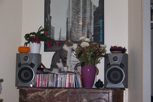JAzz, chatonne seal point de 3 mois environ et son frère Ravel, petit chaton tigré et blanc de 3 mois 100_2513