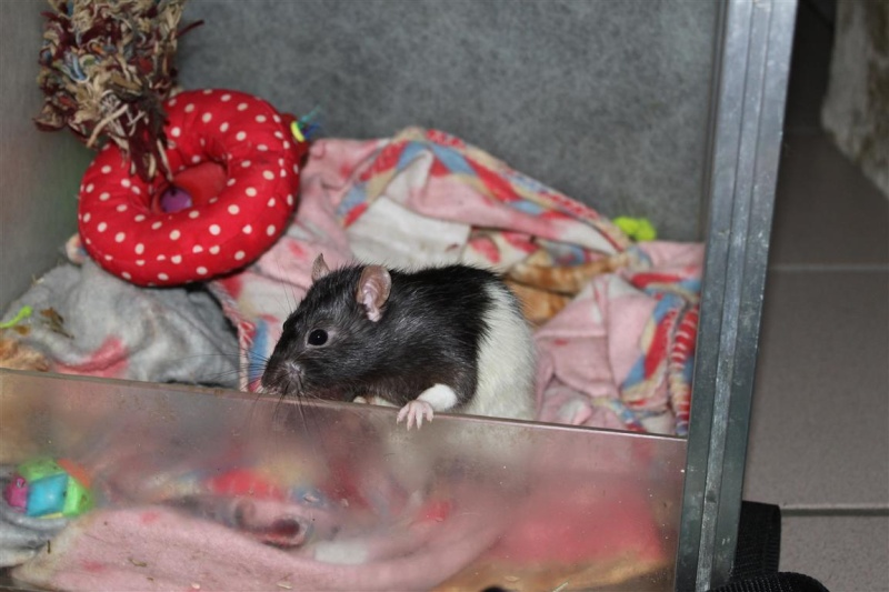 Durex (rat) refuge FREE 10988510