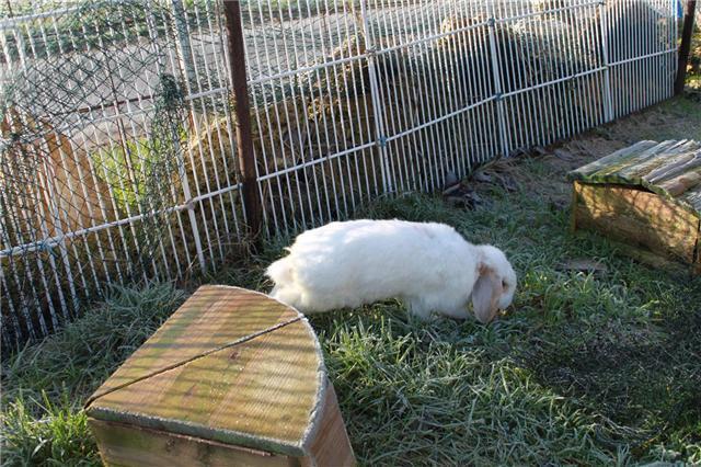 Cupidon  ,lapin mâle (refuge FREE-->77) 57458110