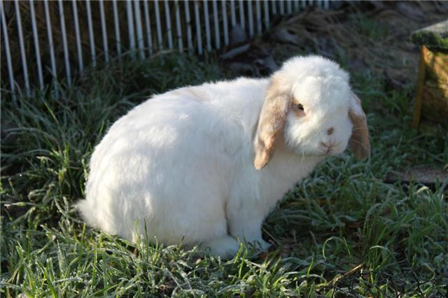 Cupidon  ,lapin mâle (refuge FREE-->77) 87292110