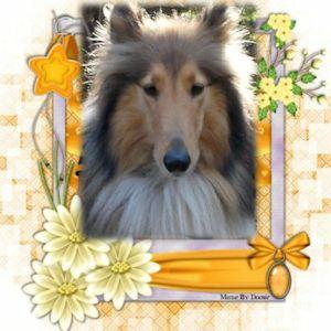 forum sur nos amis les colleys. - Portail Lassie17
