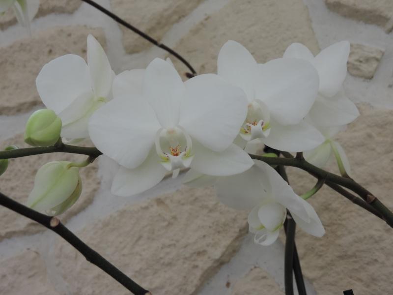 Orchidées Dscn2016