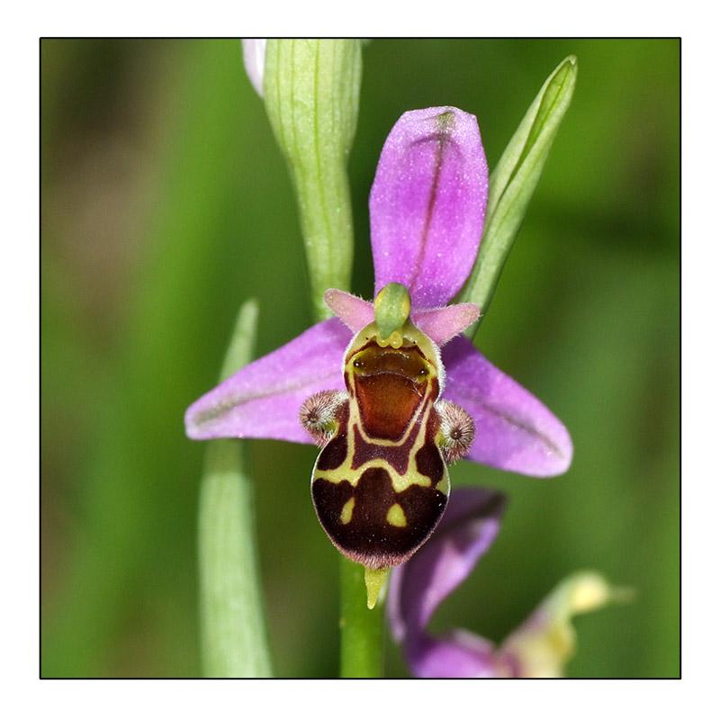 Ophrys apifera × scolopax (× minuticauda) Hyb_ap10