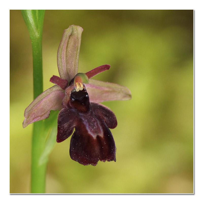 Ophrys aveyronensis × insectifera Hybrid11
