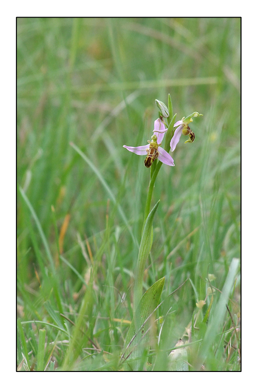 Ophrys apifera formes avec clés de recherches... O_apif12