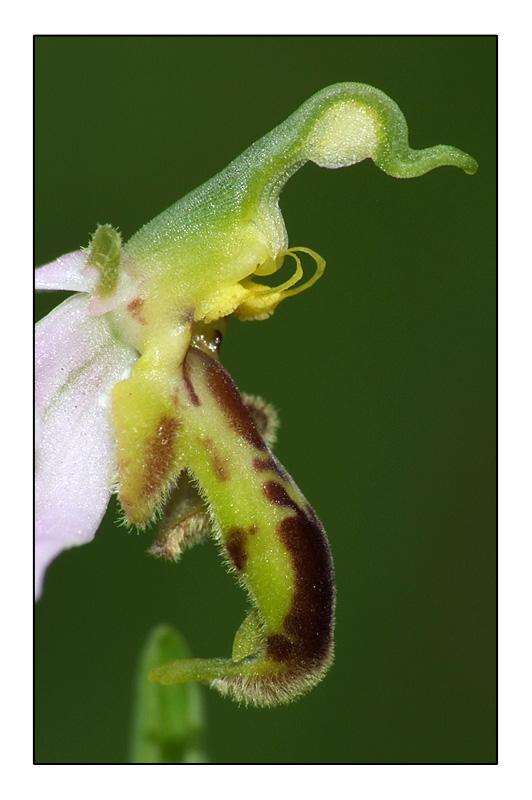 Ophrys apifera formes avec clés de recherches... O_apif15