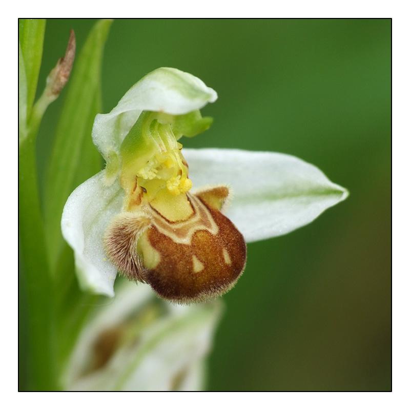 Ophrys apifera formes avec clés de recherches... O_apif22