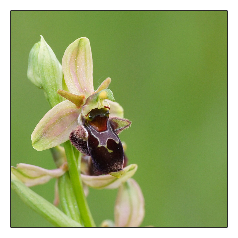Ophrys aranifera x scolopax (x nouletii) O_scol10