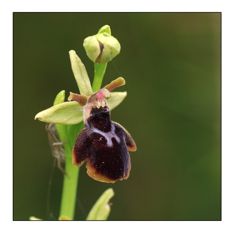 Ophrys insectifera x passionis Ophrys11