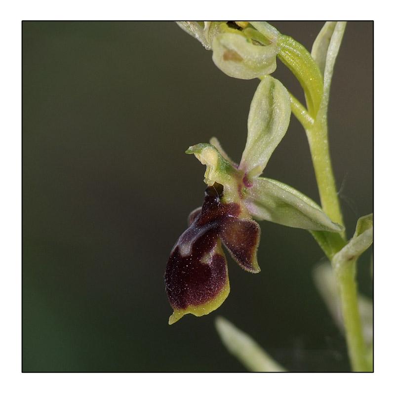 Ophrys aymoninii x scolopax Ophrys12